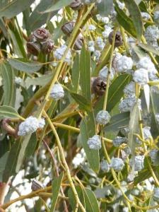 eucalyptus_nuts