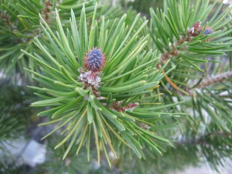 These baby pine cones start life as a purple cone with pink spikes - they look so punk.